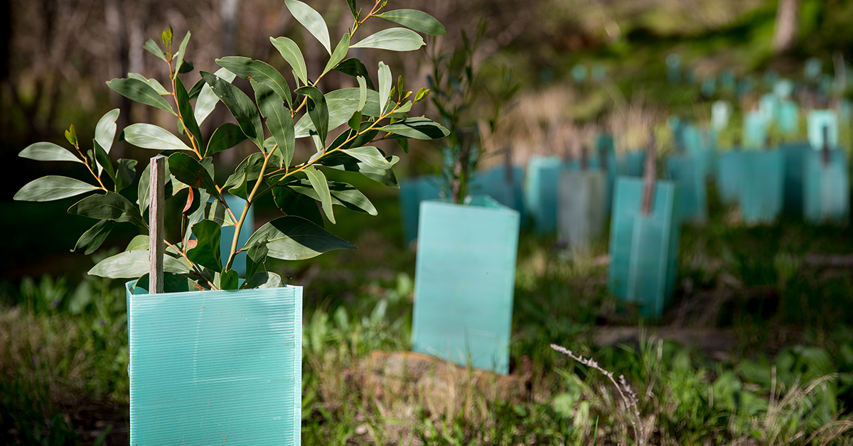 Revegetation project using corflute tree guards to protect seedlings