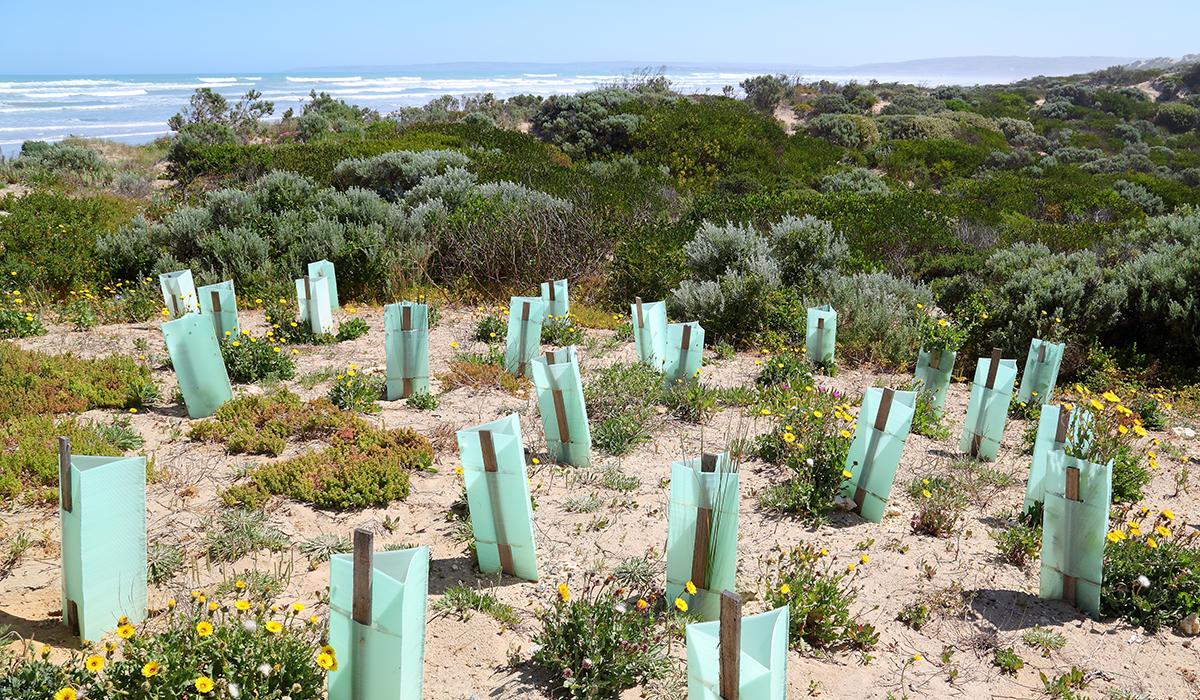 Sand dune revegetation